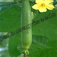 Indo Us 900 Sponge Gourd F1 Hybrid Seeds