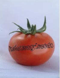 Indo Us Richnesh Tomato F1 Hybrid Seeds