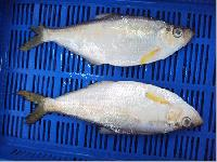 Katti Fish