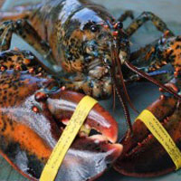 Rubber Lobster Bands