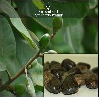 Bhilwa Medicinal Seeds ( Semecarpus Anacardium )