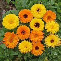Calendula Pacific Beauty Mix Organic Seeds