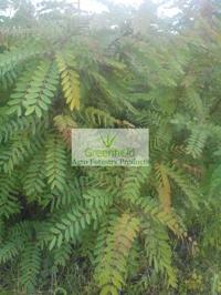 Cassia Sammia Plant