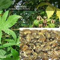 Castor Oil Seeds ( Ricinus Communis )