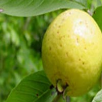 Guava Seeds