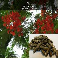 Gulmohar Ornamental Tree Seeds