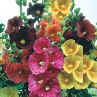 Hollyhock Flower Seeds
