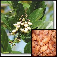 Karanj Tree Seeds ( Millettia Pinnata )
