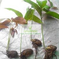 Mango Naked Plant (mangifera Indica )