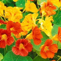 Nastursium Special Mix Flower Seeds