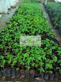 Papaya Plant (carica Papaya )