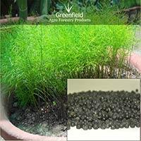 Yellow Shatavari medicinal seeds ( Asparagus racemosus )