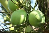 Fresh Green Tender Coconuts