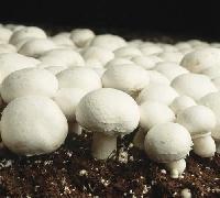 Milky Button Mushroom