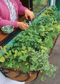 Culinary Herbs - Verdew - Greece