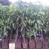 Alphanso Mango Plants