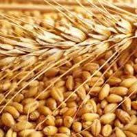 Fine Wheat