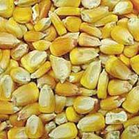 Human Feed Maize Seeds