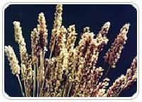 Psyllium Plant