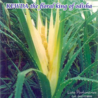 Kewra Essential Oil