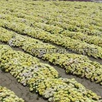 Mesembryanthemum Occulatum Lunette Seeds (yellow Burf)