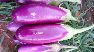 Egg Plant / Brinjal- F1 Pinkesh ( Seeds)