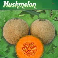 F1 Ruby 903 Muskmelon