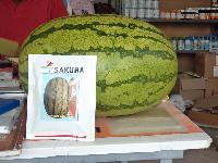Sakura Watermelon Seeds