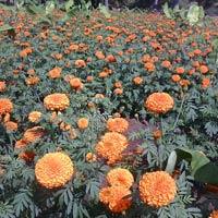 Oleoresin Hybrid Marigold Seed