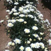 Sp Aster Hybrid Seeds (samanthi)