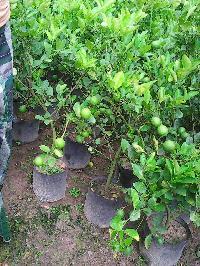 natural lemon plant