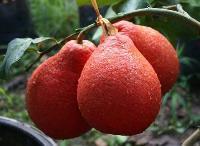 pear fruit plants