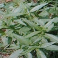 Kalmegh ( Andrographis Paniculata)