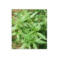 Kalmegh Leaves
