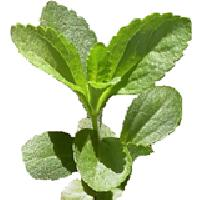 Stevia Fresh Leaves