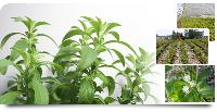Stevia Sweeteners Herbal Plants