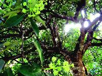 Alstonia Scholaris Plant (chattim)