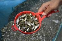 roop chanda fish