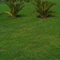 Field Grass Plantation