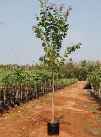Tree Plants