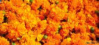 Marigold Loose Flower