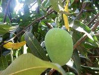 Alphonso Mangoes-02
