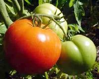 Tomato, Fresh Vegetables