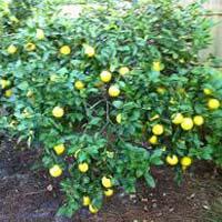 Lemon Oil