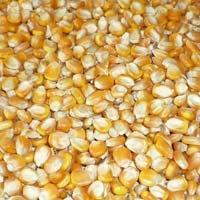 Animal Feed Grade Yellow Maize Seeds