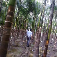 Royal Palm Plants