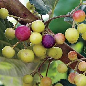 Grewia Asiatica /Falsa (Phalsa) Fruit seeds