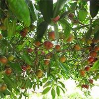 Kokam Plants