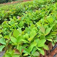 Saag (teak Wood) Plants