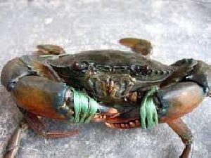 fresh raw live mud crab